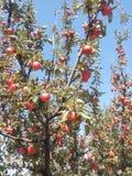 Κλάδος της Apple με τα μήλα Στοκ φωτογραφία με δικαίωμα ελεύθερης χρήσης