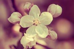 Κλάδος της Apple με τα λουλούδια Στοκ Εικόνες