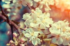 Κλάδος της Apple με τα λουλούδια Στοκ Φωτογραφίες