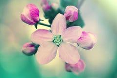 Κλάδος της Apple με τα λουλούδια Στοκ φωτογραφίες με δικαίωμα ελεύθερης χρήσης