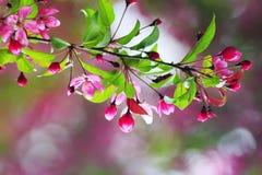 Κλάδος της Apple με τα ρόδινα λουλούδια ενάντια στο σαφή ουρανό άνοιξη Στοκ φωτογραφίες με δικαίωμα ελεύθερης χρήσης
