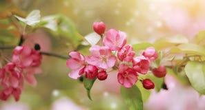 Κλάδος της Apple με τα ρόδινα λουλούδια Στοκ φωτογραφία με δικαίωμα ελεύθερης χρήσης