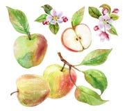 Κλάδος της Apple με τα φύλλα και τα φρούτα στο watercolor Στοκ Φωτογραφία