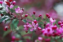 Κλάδος της Apple με τα όμορφα ρόδινα λουλούδια Στοκ Εικόνες