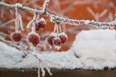 Κλάδος της Apple με το χιόνι το χειμώνα, Σιβηρία Στοκ Φωτογραφίες