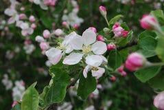 Κλάδος της Apple που ανθίζει, άσπρα λουλούδια, ρόδινοι οφθαλμοί Στοκ Φωτογραφίες