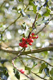 Κλάδος της Holly - aquifolium Ilex Στοκ εικόνα με δικαίωμα ελεύθερης χρήσης