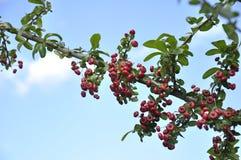 Κλάδος της Holly - aquifolium Ilex Στοκ Φωτογραφία