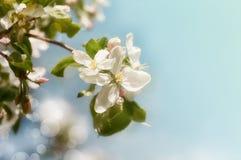 Κλάδος του άνθους της Apple Στοκ εικόνες με δικαίωμα ελεύθερης χρήσης