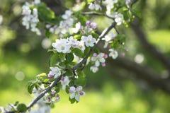 Κλάδος του άνθους της Apple Στοκ φωτογραφία με δικαίωμα ελεύθερης χρήσης