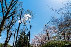 κλάδος του άνθους sakura ή κερασιών στο μπλε ουρανό στο πάρκο Στοκ Φωτογραφία