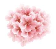 Κλάδος του άσπρου sakura άνθησης - ιαπωνικό δέντρο κερασιών όμορφο ροζ κερασιών ανθών Στοκ Εικόνα