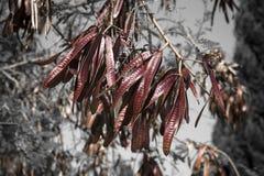 Κλάδος του δέντρου ακακιών με τους σπόρους βαμμένος στοκ φωτογραφία με δικαίωμα ελεύθερης χρήσης
