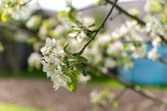 Κλάδος του δέντρου μηλιάς με τα άνθη λουλουδιών Στοκ φωτογραφία με δικαίωμα ελεύθερης χρήσης