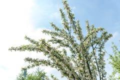 Κλάδος του δέντρου μηλιάς με τα άνθη λουλουδιών Στοκ Φωτογραφίες