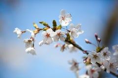 Κλάδος του δέντρου μηλιάς με τα ανθίζοντας λουλούδια επάνω Στοκ Εικόνες