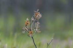 Κλάδος του δέντρου πεύκων με τους ιστούς αράχνης στοκ φωτογραφία με δικαίωμα ελεύθερης χρήσης