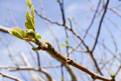 Κλάδος του δέντρου σύκων στοκ φωτογραφίες με δικαίωμα ελεύθερης χρήσης