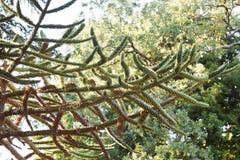 Κλάδος του δέντρου araucana αροκαριών Στοκ εικόνα με δικαίωμα ελεύθερης χρήσης