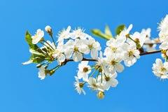 Κλάδος του ανθίζοντας κερασιού στο μπλε ουρανό Στοκ εικόνα με δικαίωμα ελεύθερης χρήσης