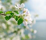 Κλάδος του ανθίζοντας μήλου Στοκ φωτογραφία με δικαίωμα ελεύθερης χρήσης