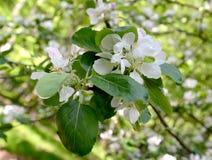 Κλάδος του ανθίζοντας σπιτιού Apple-δέντρων (domestica Borkh Malus ) Στοκ φωτογραφία με δικαίωμα ελεύθερης χρήσης