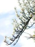 Κλάδος του ανθισμένου δαμάσκηνου στον ουρανό ελατηρίων Στοκ Φωτογραφίες