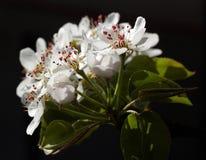 Κλάδος του αχλαδιού με τα λουλούδια Στοκ φωτογραφία με δικαίωμα ελεύθερης χρήσης