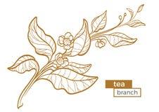 Κλάδος του θάμνου τσαγιού με τα φύλλα και τα λουλούδια Βοτανικό σχέδιο περιγράμματος οργανικό προϊόν διάνυσμα διανυσματική απεικόνιση
