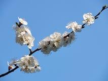 Κλάδος του κερασιού με τα λουλούδια Στοκ Φωτογραφίες