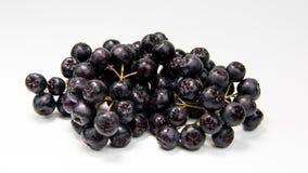 Κλάδος του μαύρου chokeberry melanocarpa Aronia Στοκ Φωτογραφία