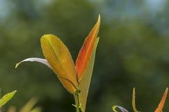 Κλάδος του νέου φύλλου με το πράσινο και πορτοκαλί στενό επάνω, κεντρικό βαλκανικό βουνό χρώματος, Stara Planina Στοκ Φωτογραφίες