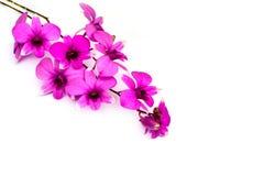 Κλάδος του λουλουδιού ορχιδεών που απομονώνεται στο λευκό Στοκ Εικόνα