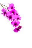 Κλάδος του λουλουδιού ορχιδεών που απομονώνεται στο λευκό Στοκ φωτογραφία με δικαίωμα ελεύθερης χρήσης