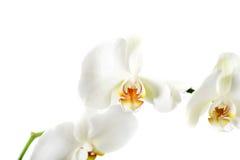 Κλάδος του λουλουδιού ορχιδεών Στοκ Εικόνα