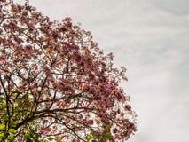 Κλάδος του ρόδινου δέντρου σαλπίγγων Στοκ Εικόνες