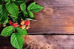 Κλάδος του σμέουρου με τα κόκκινα μούρα και τα πράσινα φύλλα Στοκ Φωτογραφία