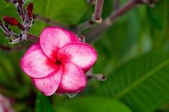 Κλάδος του τροπικού κόκκινου frangipani λουλουδιών (plumeria) Στοκ Φωτογραφία