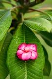 Κλάδος του τροπικού κόκκινου frangipani λουλουδιών (plumeria) Στοκ Εικόνες