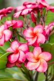 Κλάδος του τροπικού κόκκινου frangipani λουλουδιών (plumeria) Στοκ Φωτογραφίες