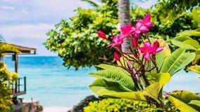 Κλάδος του τροπικού ρόδινου plumeria frangipani λουλουδιών με το φοίνικα, την παραλία και τον ωκεανό στο υπόβαθρο Στοκ φωτογραφία με δικαίωμα ελεύθερης χρήσης