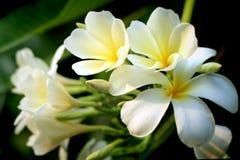 Κλάδος του τροπικού frangipani λουλουδιών (plumeria) Στοκ εικόνες με δικαίωμα ελεύθερης χρήσης