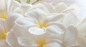 Κλάδος του τροπικού frangipani λουλουδιών (plumeria), Στοκ Εικόνα