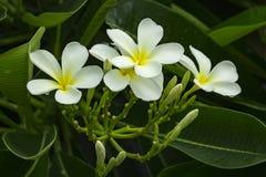 Κλάδος του τροπικού plumeria frangipani λουλουδιών Στοκ Εικόνες