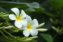 Κλάδος του τροπικού plumeria frangipani λουλουδιών Στοκ Εικόνα