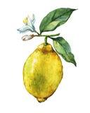 Κλάδος του φρέσκου λεμονιού εσπεριδοειδούς με τα πράσινα φύλλα και τα λουλούδια απεικόνιση αποθεμάτων