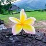 Κλάδος του όμορφου λουλουδιού frangipani Στοκ Εικόνες