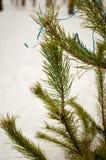 Κλάδος του FIR έξω το χειμώνα Στοκ Εικόνες