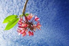 Κλάδος του plumeria ή των κόκκινων λουλουδιών frangipani με τα πράσινα φύλλα ι Στοκ Φωτογραφίες