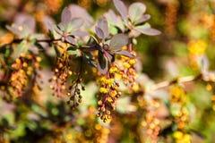 Κλάδος των ανθίζοντας λουλουδιών berberis στοκ εικόνες